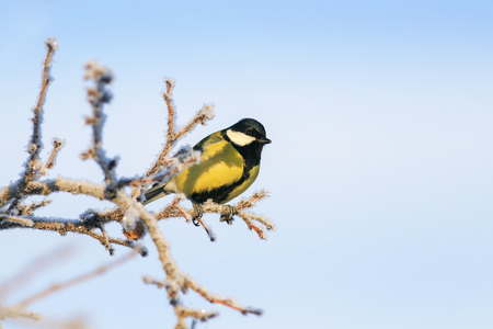 little tit bird sits on branches of a tree covered with fluffy white frost and snow in a winter frosty park against a blue clear sky