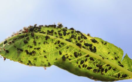 small insect pests brown aphids have clung to the green leaf in the summer garden and spoil the harvest