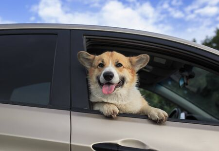 charming puppy dog red Corgi pretty sticks out his face with pink tongue and paws from the car window while traveling through the countryside on a Sunny summer day
