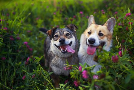 two lovely beautiful friends of a dog with tongues hanging out sit on a bright summer sunny meadow with blooming pink clovers