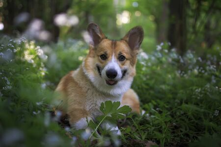 funny red corgi dog puppy walks in the park and sits among the flowers and leaves smiling
