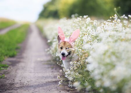 cute happy puppy dog red Corgi in festive Easter pink rabbit ears on meadow vygdyadyvaet from white flowers chamomile in Sunny clear day funny sticking out language