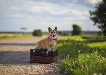 puppy red dog Corgi sits on two old suitcases on the road waiting for passing transport funny sticking out his tongue on a hot summer day Zdjęcie Seryjne