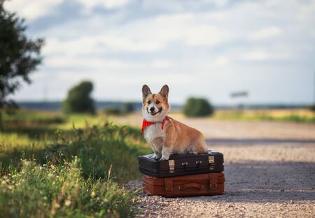 puppy red dog Corgi sits on two old suitcases on the road waiting for passing transport funny sticking out his tongue on a hot summer day Stock Photo