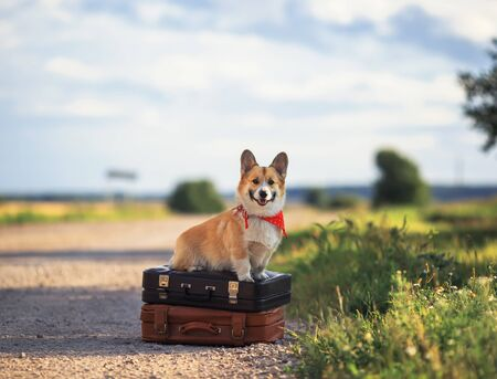 puppy red dog Corgi sits on two old suitcases on the road waiting for passing transport