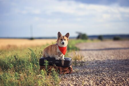 puppy red dog Corgi sits on the road on old suitcases waiting for passing transport on a hot summer day