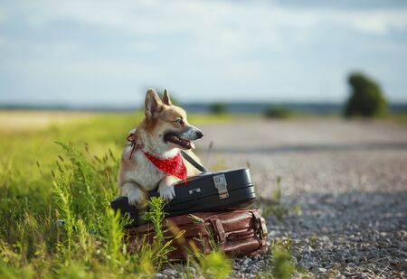 puppy red dog Corgi lies on two old suitcases on the road waiting for passing transport funny sticking out his tongue on a hot summer day
