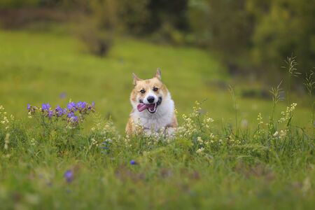 cute charming puppy dog Corgi runs merrily through the blooming summer Sunny meadow sticking out his pink tongue Imagens