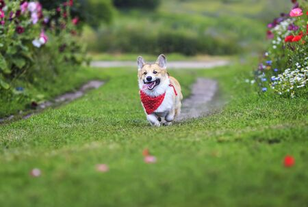 beautiful funny puppy dog red Corgi in a red scarf fun running on green meadow flower sticking out your tongue and lifted high legs