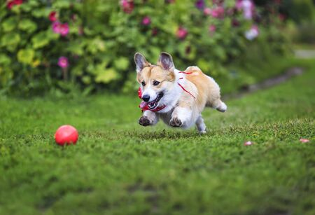 beautiful funny puppy dog red Corgi fun runs after a red ball on a green meadow with his tongue hanging out and lifted high legs