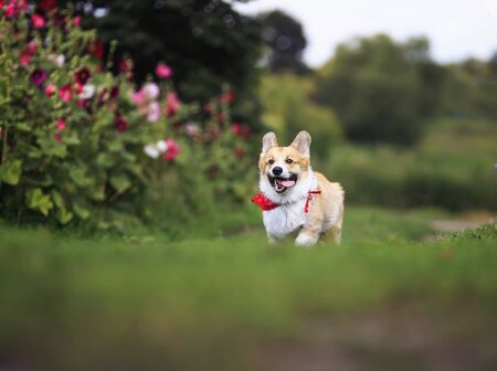 beautiful funny puppy dog red Corgi fun running on green meadow flower sticking out your tongue and lifted high legs