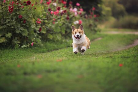 funny puppy dog red Corgi fun runs on green meadow sticking out language and raising paws