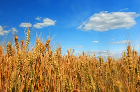field ears of ripe Golden wheat on the farm in summer Sunny day on backdrop of net clear pan-blue the sky with white clouds Stockfoto