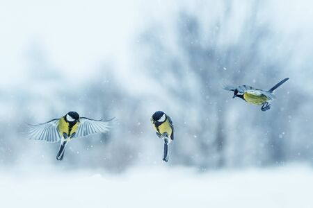 three birds little Tits fly spreading their wings and feathers during snowfall in festive winter new year Park Imagens