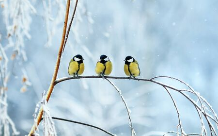 three birds little Tits sit on a tree branch during snowfall in festive winter new year Park Imagens
