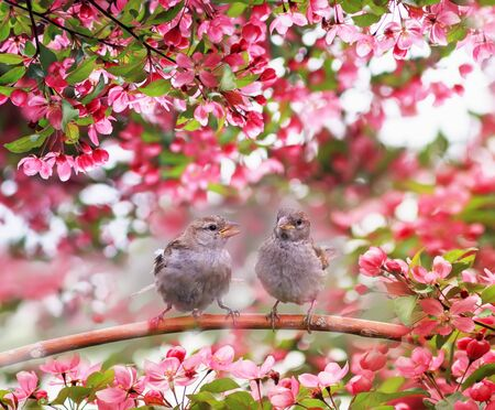 two funny Sparrow birds sit on a branch of an Apple tree with pink flowers in a may Sunny garden