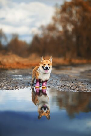 portrait of cute puppy red dog Corgi stands on the road in rubber boots in a puddle and is reflected in it in the autumn Sunny Park on a walk after the rain Stock fotó