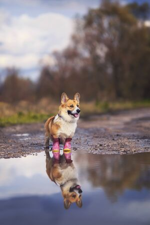 vertical portrait cute puppy redhead dog Corgi stands on the road in rubber boots in a puddle and is reflected in it in the autumn Sunny clear Park on a walk after the rain