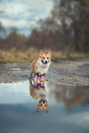 portrait of cute puppy red dog Corgi stands on the road in rubber boots by a puddle and is reflected in it in the autumn Sunny Park on a walk after the rain Stock fotó
