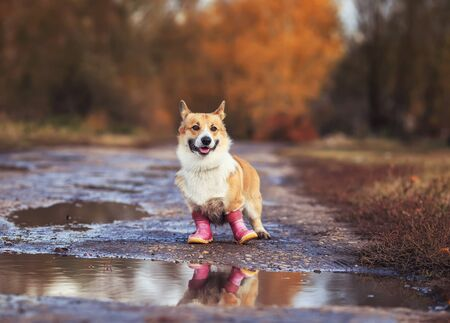 funny cute puppy red dog Corgi stands on the road in rubber boots near puddles in autumn Sunny clear Park on a walk after rain Stockfoto