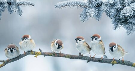 Christmas card with lots of cute little birds, the sparrows sitting in the winter garden under fir branch under snow Фото со стока