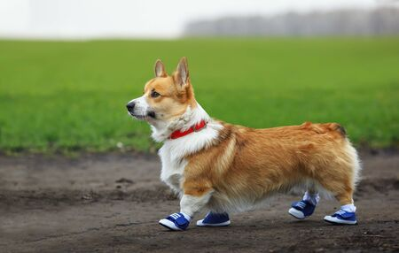 portrait of cute puppy red dog Corgi running on country road in sporty blue sneakers during morning exercise