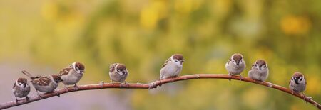panoramic portrait of small funny birds sparrows sitting on a tree branch in a Sunny summer garden
