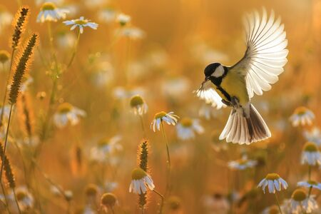 beau petit oiseau mésange jaune survole un champ de fleurs de marguerite blanche en soirée d'été ensoleillée avec des plumes et des ailes largement déployées Banque d'images