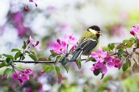 natural con un pequeño carbonero sentado en una rama de manzana con flores rosadas en un jardín soleado de mayo Foto de archivo