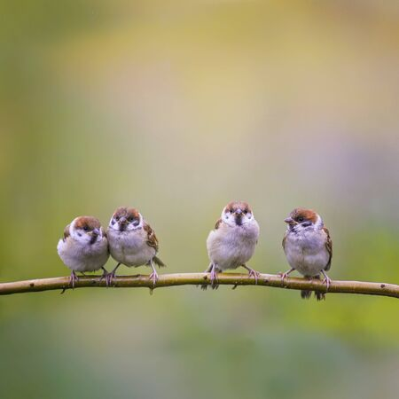 square background with small funny Sparrow Chicks sitting on the ground a branch in a summer Sunny garden and chirp merrily