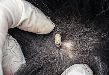fat inflated blood dangerous insect mite stuck to the dog's skin among the parted hair