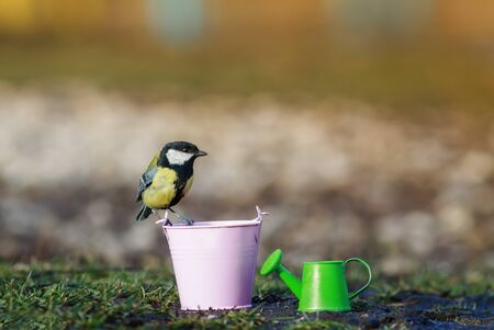 bird tit flew to the garden inventory watering cans and buckets on a Sunny spring day