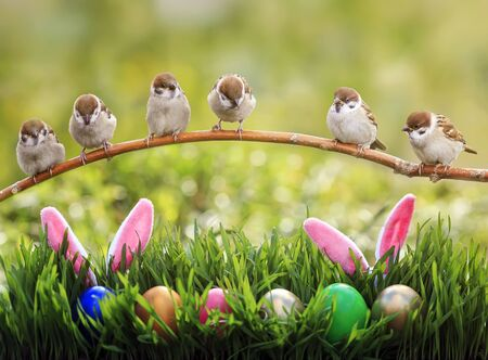 Easter card with Sparrow Chicks sitting on a branch above a green meadow with colorful eggs and rabbit ears sticking out in the grass on a Sunny Sunday spring day 版權商用圖片