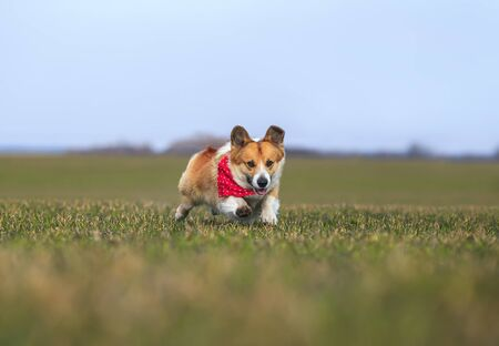 funny red Corgi dog puppy in fast running on green grass on a spring Sunny day in a meadow