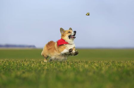 funny red Corgi dog puppy runs fast on the green grass in the meadow and catches a swallowtail butterfly on a Sunny day 版權商用圖片