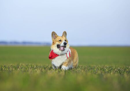 funny red Corgi dog puppy in walking on the green grass on a Sunny spring day in a meadow with his tongue hanging out 版權商用圖片