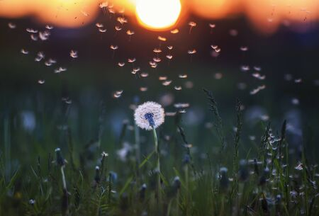 natural background with a white dandelion flower and light seeds flying in the light of a Golden sunset and glare