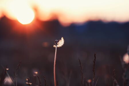 natural background with a flying dandelion in the light of a Golden sunset