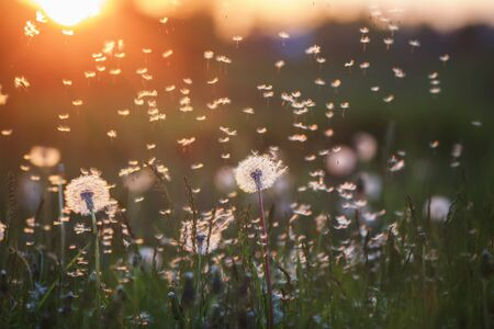 natural background with white fluffy round flowers dandelions and light seeds flying in the light of a Golden sunset