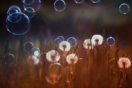 natural background with white fluffy dandelions and flying light seeds and soap bubbles in the light of a Golden sunset