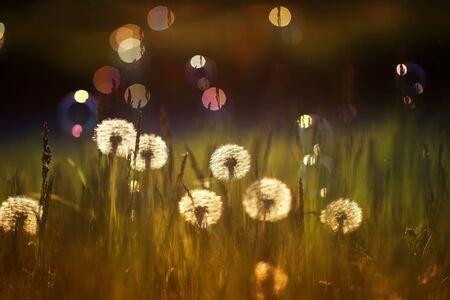 natural background with white fluffy round flowers dandelions and light seeds flying in the light of a Golden sunset and glare