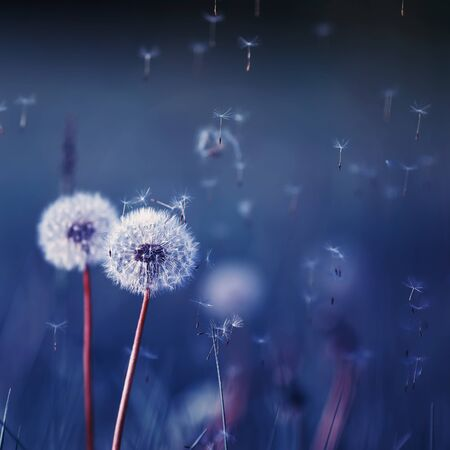 square natural background in blue tones with white fluffy flowers dandelions and flying light seeds