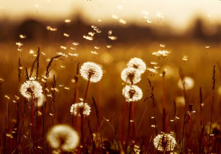 natural background with white fluffy flowers dandelions and flying light seeds in the light of a Golden sunset