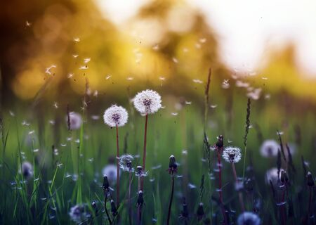 field with white fluffy dandelion flowers and flying seeds on a Sunny warm summer day 版權商用圖片