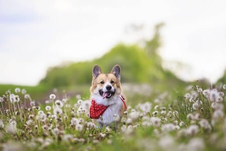 cute funny Corgi dog puppy is running merrily through a blooming meadow with white fluffy dandelions sticking out his tongue