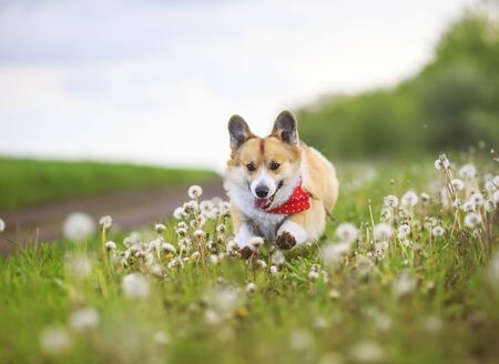 funny Corgi dog puppy is running merrily through a blooming meadow with white fluffy dandelions