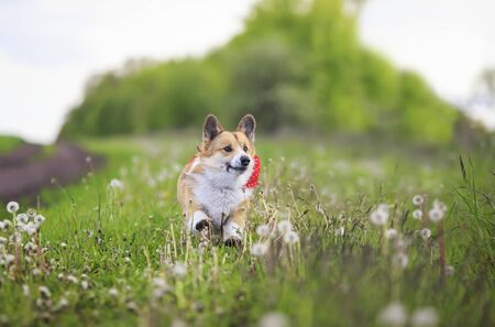 cute funny Corgi dog puppy is running merrily through a blooming meadow with white fluffy dandelions 版權商用圖片