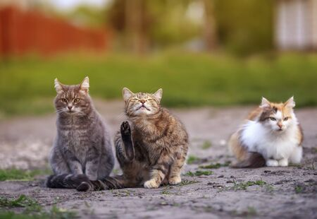 -three different cats sit on the path in the garden on a spring Sunny day and wash