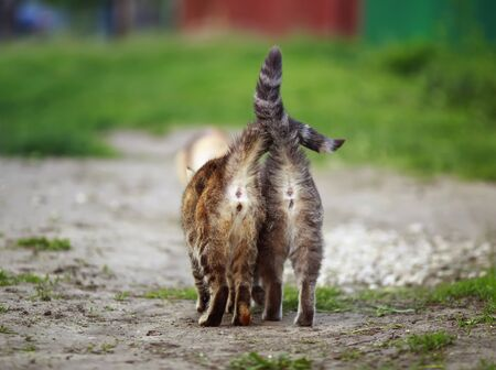 two striped cats go away in the garden on a Sunny spring day with their striped tails held high