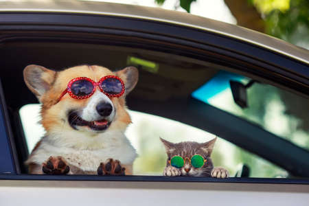 fashionable and funny dog and cat in sunglasses leaned out of the car window during a vacation trip Stock Photo